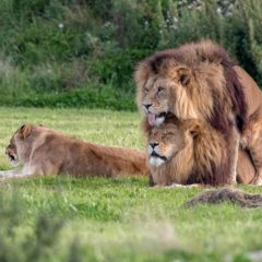 NEWS: Gay Lions Make Headlines Mating, Fag Hag Lioness is So Over it